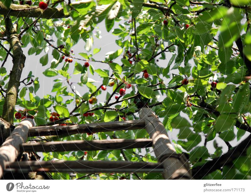cherry cherry ladder Colour photo Exterior shot Day Shadow Contrast Worm's-eye view Upward Happy Life Well-being Contentment Garden Environment Nature Landscape