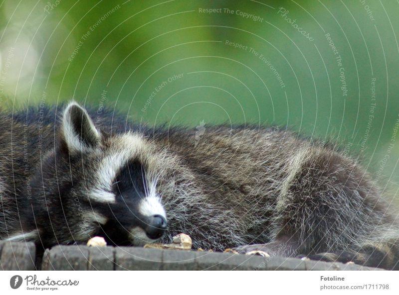 Good night. Environment Nature Plant Animal Summer Tree Animal face Pelt 1 Bright Near Natural Wild Soft Gray Green Fatigue Sleep Ear Snout Raccoon Tree trunk
