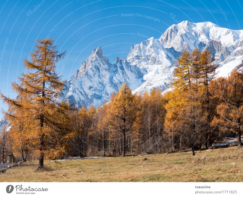 Larch trees and the snowy peaks of Mont Blanc in fall Snow Mountain Nature Landscape Plant Sky Autumn Alps Glacier Blue Brown Yellow White aosta courmayer