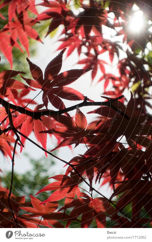Ohayô Nihon! Nature Plant Sun Sunlight Tree Leaf Garden Park Japan Asia Red Calm Idyll Japan maple tree Colour photo Exterior shot Detail Deserted Day