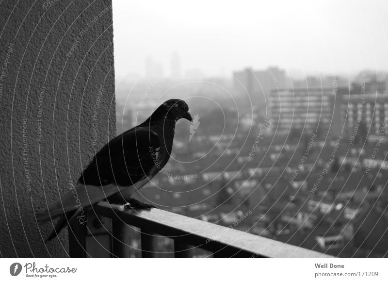 rats of the air Far-off places Town Outskirts Deserted High-rise Pigeon Calm Bird Black & white photo outlook Exterior shot Morning Blur Shallow depth of field