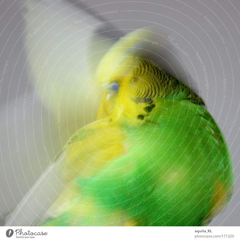 Green Animal Yellow Wild animal Speed Wing Cleaning Pet Australia Parrots Budgerigar
