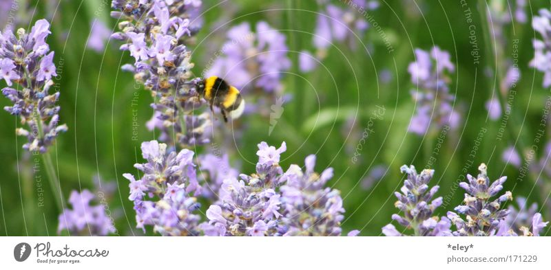 bumblebee. Colour photo Exterior shot Day Animal portrait Summer Work and employment Nature Landscape Plant Spring Flower Grass Blossom Meadow Wild animal Wing