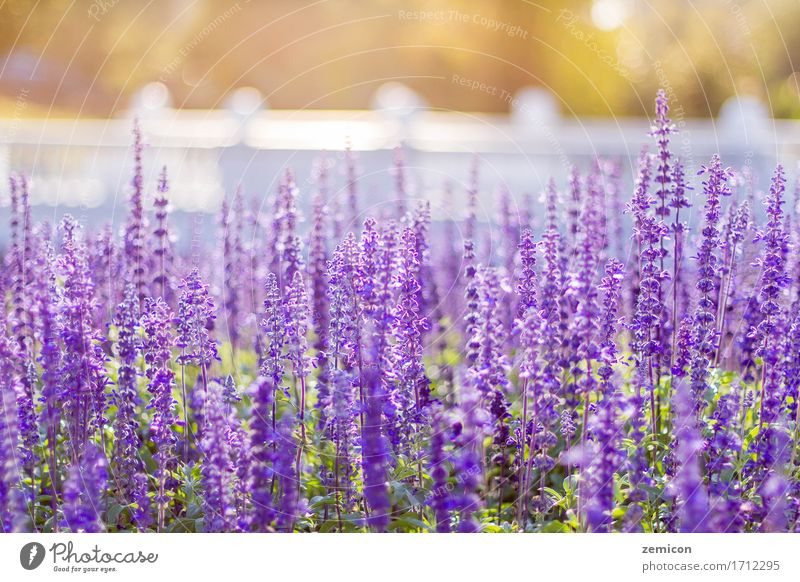 Soft Focus of Blue Salvia Flower Field and Blurred by the Wind Herbs and spices Beautiful Relaxation Spa Summer Garden Wallpaper Environment Nature Plant Leaf
