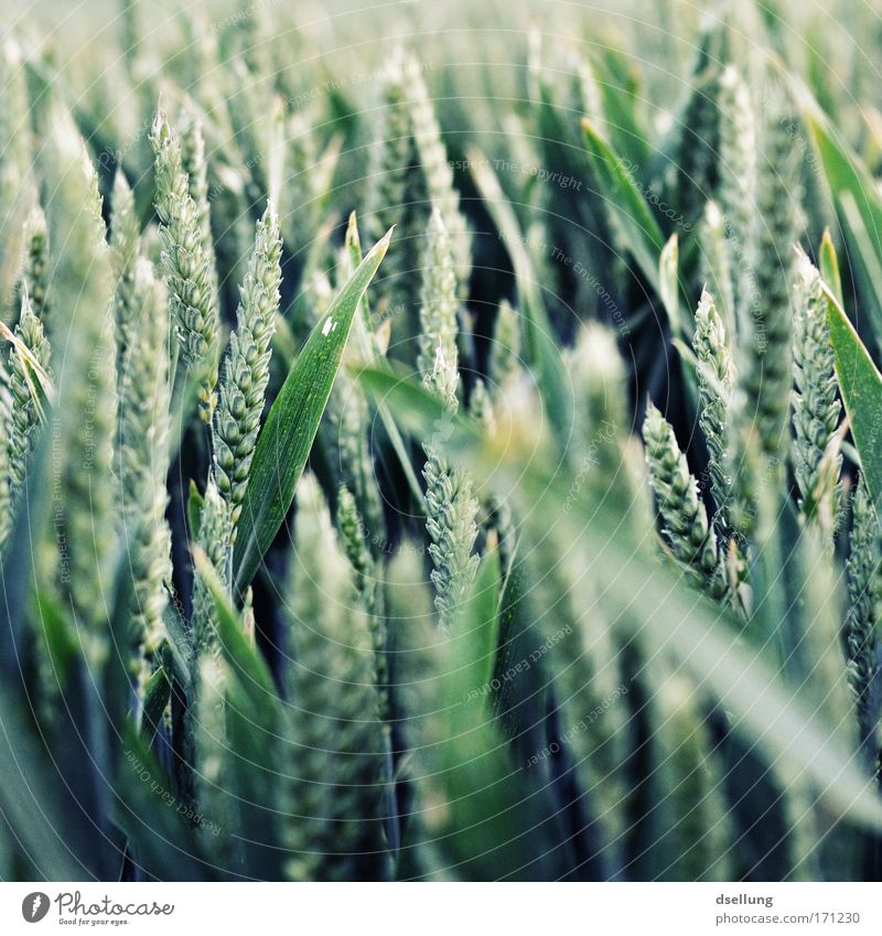 Nature Green Plant Nutrition Field Healthy Environment Growth Grain Grain field Agricultural crop Grain harvest