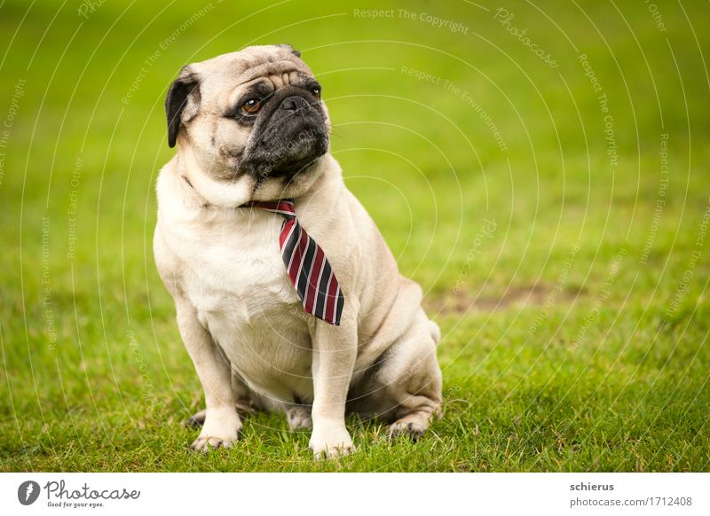Pug with tie Wedding Pet Dog 1 Animal Observe Looking Sit Cool (slang) Hip & trendy Green Serene Patient Calm Wisdom Boredom Contempt Contentment Tie Striped