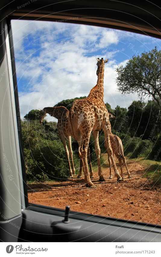 Nature Animal Car Landscape Going Tall Driving Group of animals Wild animal To feed Road junction Giraffe 3 Animal family