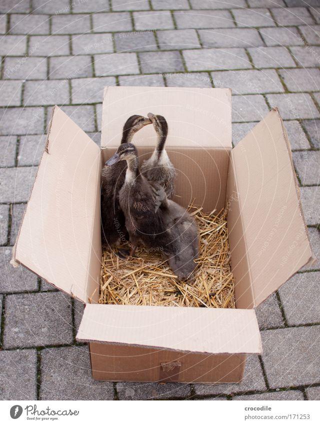 Joy Animal Paper Happy Fear Happiness Dangerous Group of animals Wing Stress Cardboard Duck Fear of death Pet Crate Beak