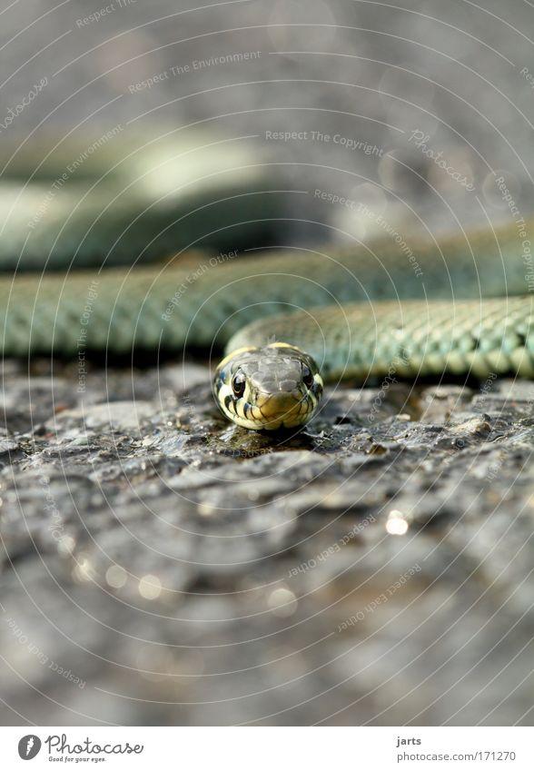 Nature Animal Wait Esthetic Wild Wild animal Respect Exotic Aggression Snake Viper Ring-snake