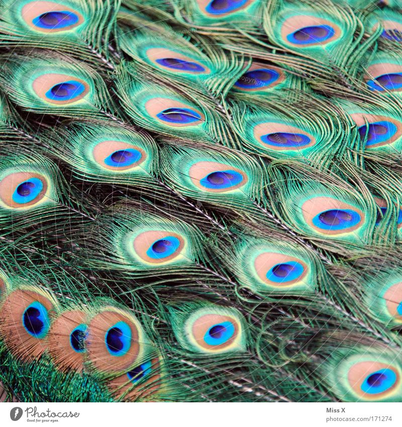 ornament Colour photo Multicoloured Close-up Detail Animal Bird Wing Zoo Rutting season Elegant Glittering Beautiful Pride Conceited Exotic Nature Peacock