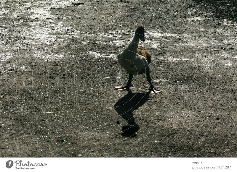Animal Dark Gray Warmth Brown Bird Fear Wait Stand Natural Cute Watchfulness Duck Nerviness Attentive Farm animal