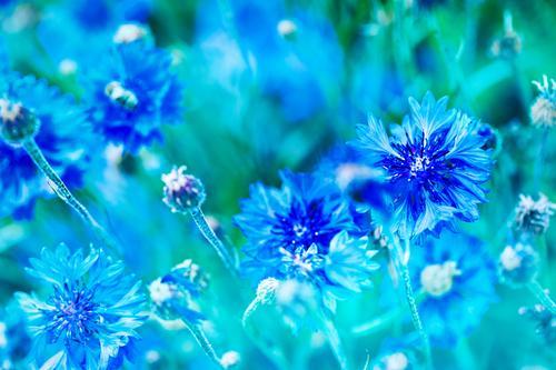 Cornflowers blue Plant Summer Flower Blossom Foliage plant Garden Park Blue Green Blossoming Garden Bed (Horticulture) Landscape format Play of colours Bud Leaf