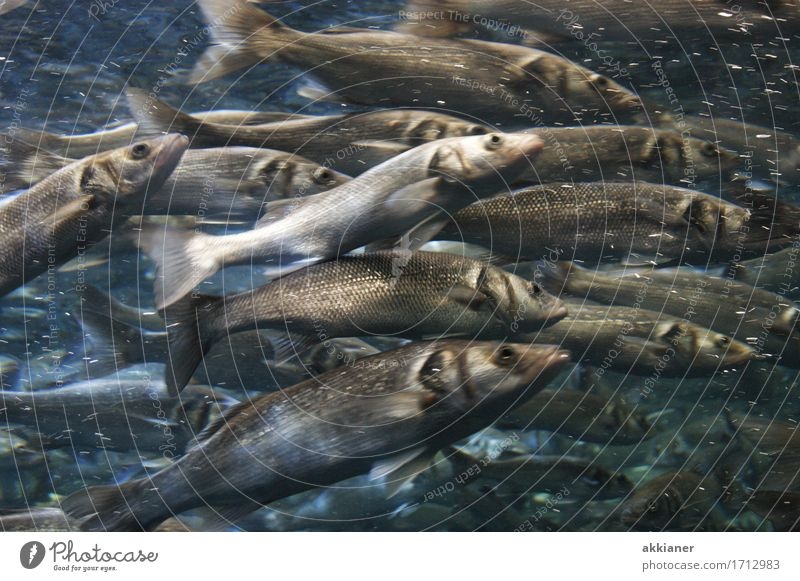 "fish Environment Nature Animal Water Wild animal Fish Aquarium ""Fish animals Living thing fauna animal kingdom animal world Herring Herring"" Flock Colour photo"