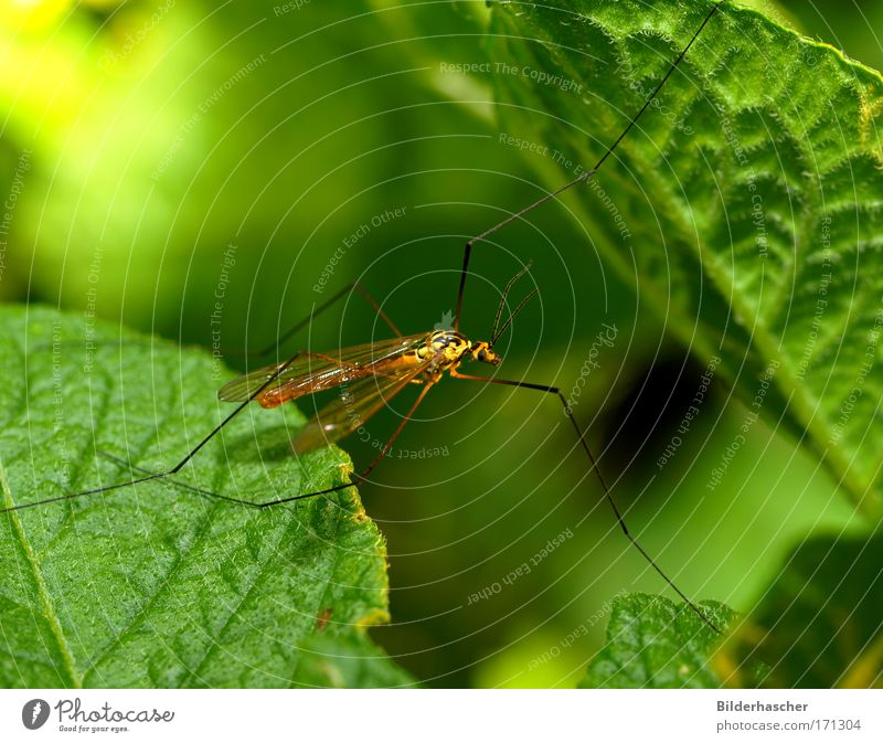 Green Summer Leaf Eyes Near Wing Insect Long Pole Antenna Mosquitos Dipterous Compound eye Weed Crane fly Potato leaf