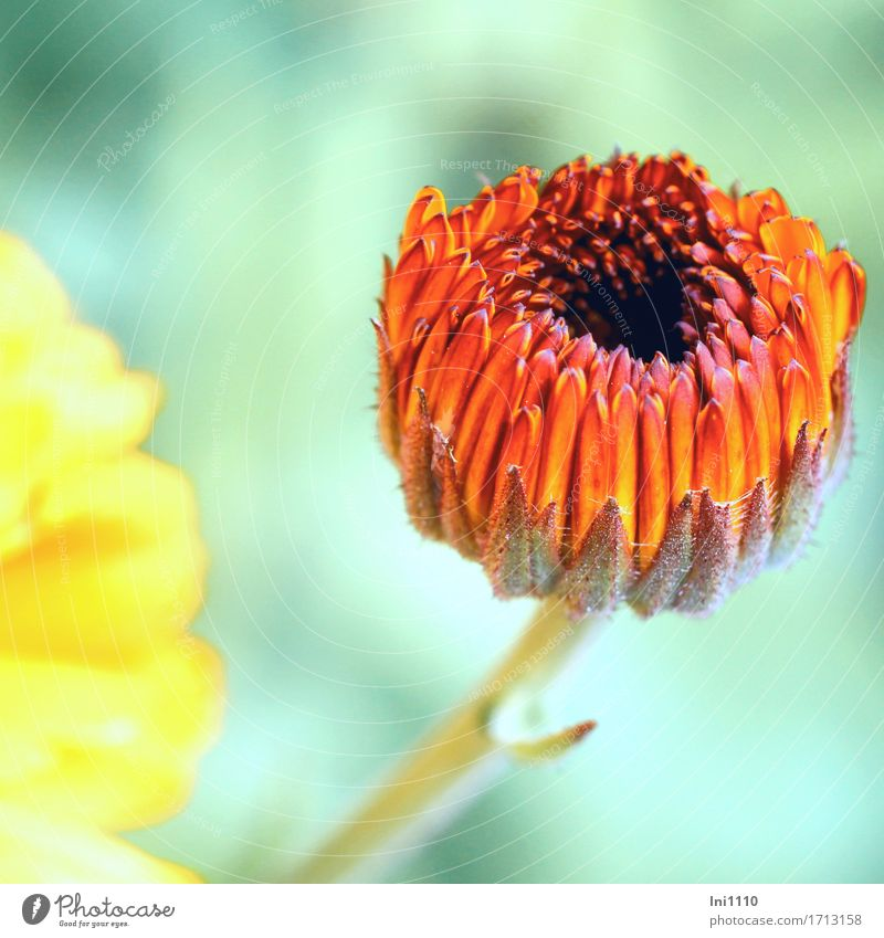 marigold Nature Plant Summer Beautiful weather Flower Blossom Agricultural crop Marigold Garden Park Meadow Brown Yellow Gray Orange Red Black Turquoise