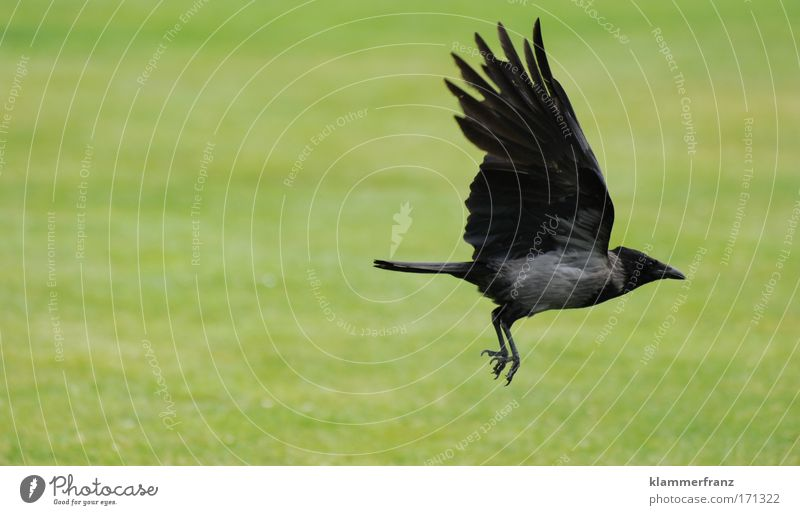 Crow flies off Animal portrait Earth Air Grass Bird Movement Flying Hunting Vacation & Travel Muscular Strong Joy Esthetic Energy industry Power Far-off places