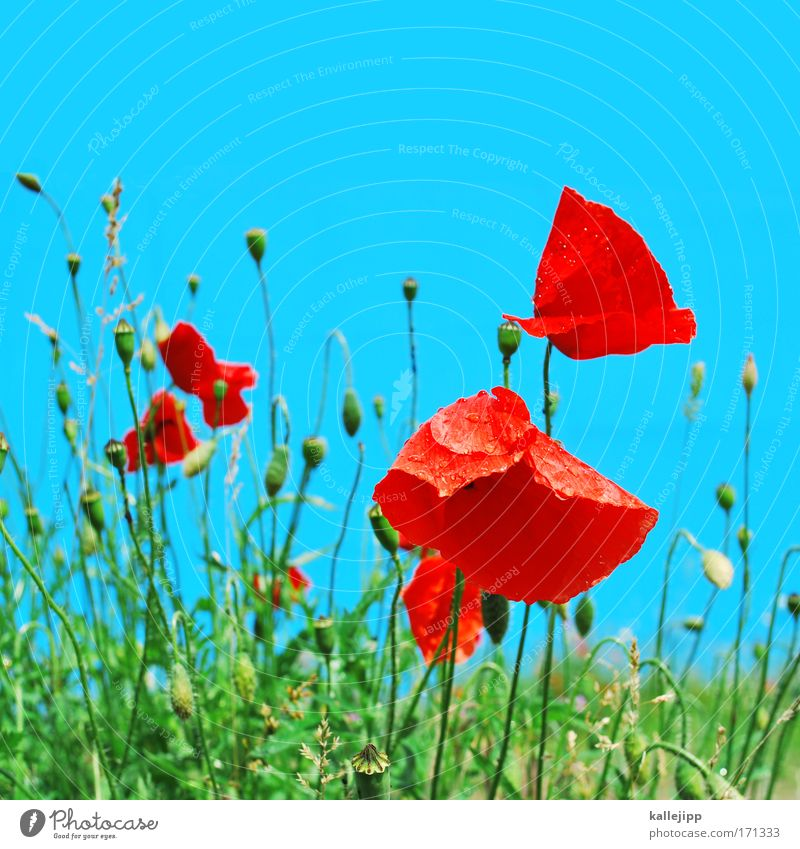 poppy Colour photo Multicoloured Detail Day Environment Nature Landscape Plant Air Drops of water Sky Climate Climate change Weather Beautiful weather Flower