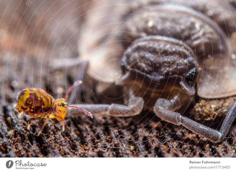 """a bullet jumper runs past a woodlouse Animal """"Assel Collembola Bullet Jumper"""" 2 Walking Looking Exceptional Exotic Nature Colour photo Exterior shot Day"""