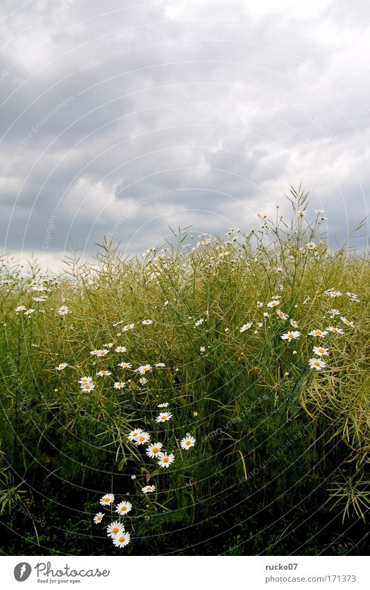 G-floret Colour photo Exterior shot Deserted Day Plant Sky Clouds Flower Grass Wild plant Field Yellow Gray Green White Growth