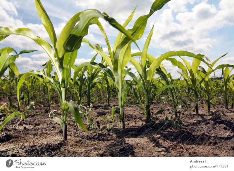 Nature Sky Plant Summer Sand Field Environment Earth Energy industry Science & Research Agriculture Beautiful weather Grain Foliage plant Maize Manipulation