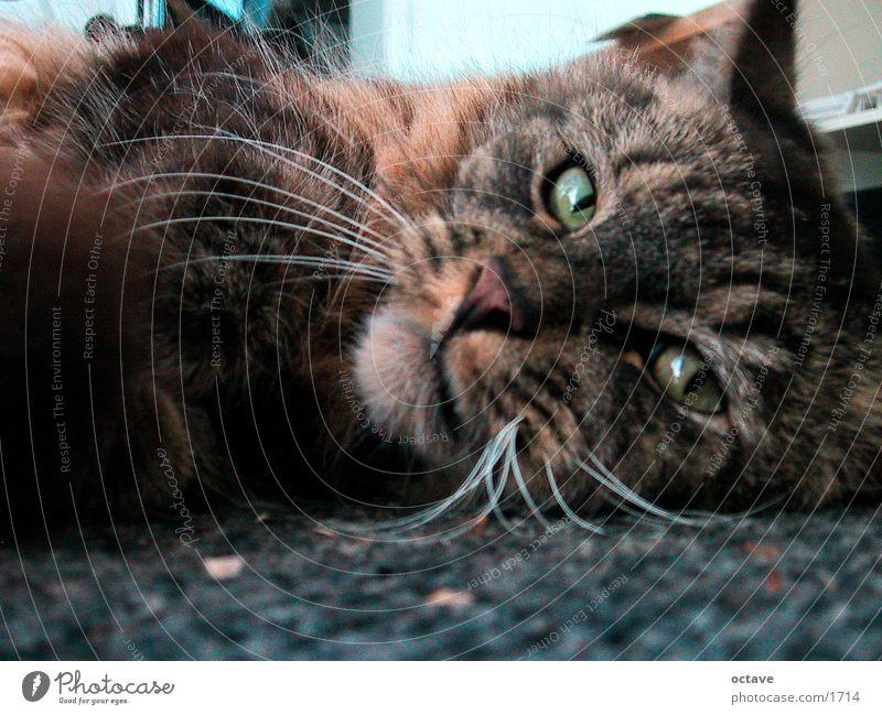 Cat Pet Domestic cat