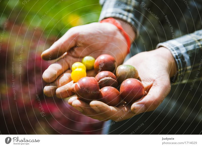Harvest II - The first own tomatoes Food Vegetable Tomato Nutrition Organic produce Vegetarian diet Italian Food Lifestyle Happy Healthy Healthy Eating Summer