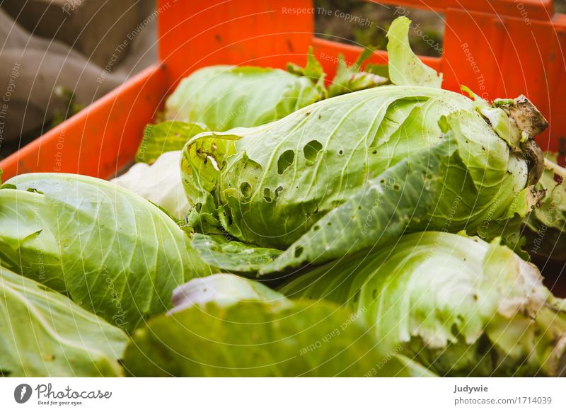 Harvest III - Snail delicacy Food Vegetable Lettuce Salad pointed cabbage Cabbage Nutrition Organic produce Vegetarian diet Diet Environment Nature Autumn Plant