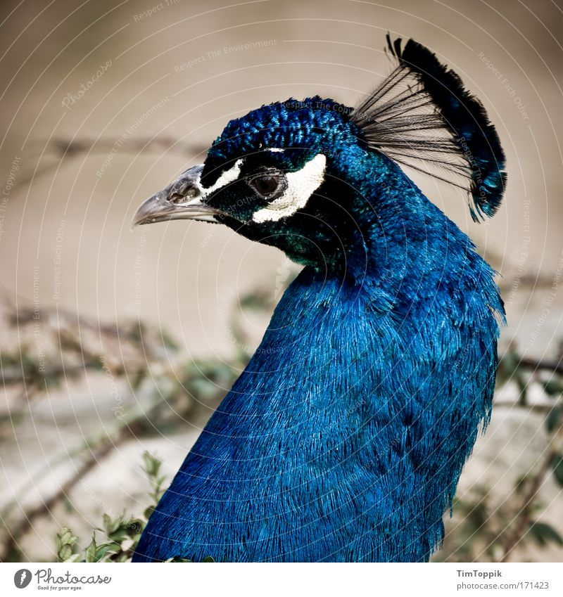 Beautiful Animal Sadness Bird Esthetic Feather Animal face Zoo Beak Pride Crown Peacock Eyes Berlin zoo Peacock feather Bird's eyes