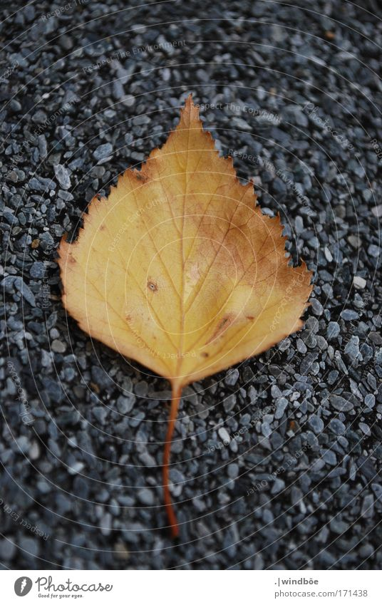 dropped Colour photo Exterior shot Close-up Detail Deserted Day Blur Central perspective Long shot Plant Leaf Old Lie Yellow Gold Gray Decompose Birch leaves