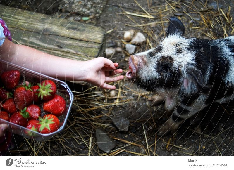 olaf Food Fruit Strawberry Picnic Human being Girl Arm Hand Fingers 1 3 - 8 years Child Infancy Animal Pet Farm animal kune kune pig Swine Baby animal Eating