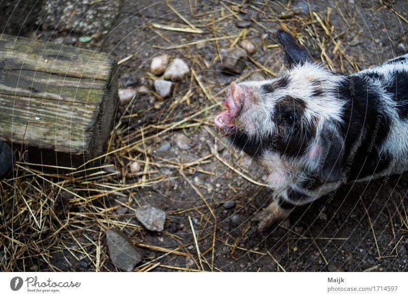 Summer White Animal Black Yellow Gray Stone Pink Pelt Appetite Pet Animal face Peaceful Feeding Swine Farm animal