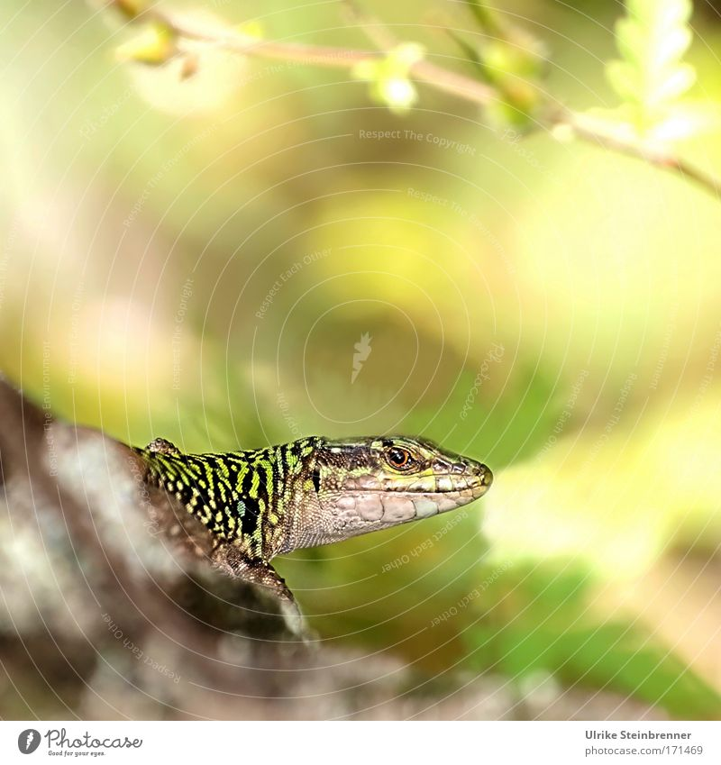 Lizard looks watchful Nature Animal Wild animal Animal face Flake lizard Reptiles 1 Breathe Observe Sit Wait Friendliness Glittering chill natural Curiosity