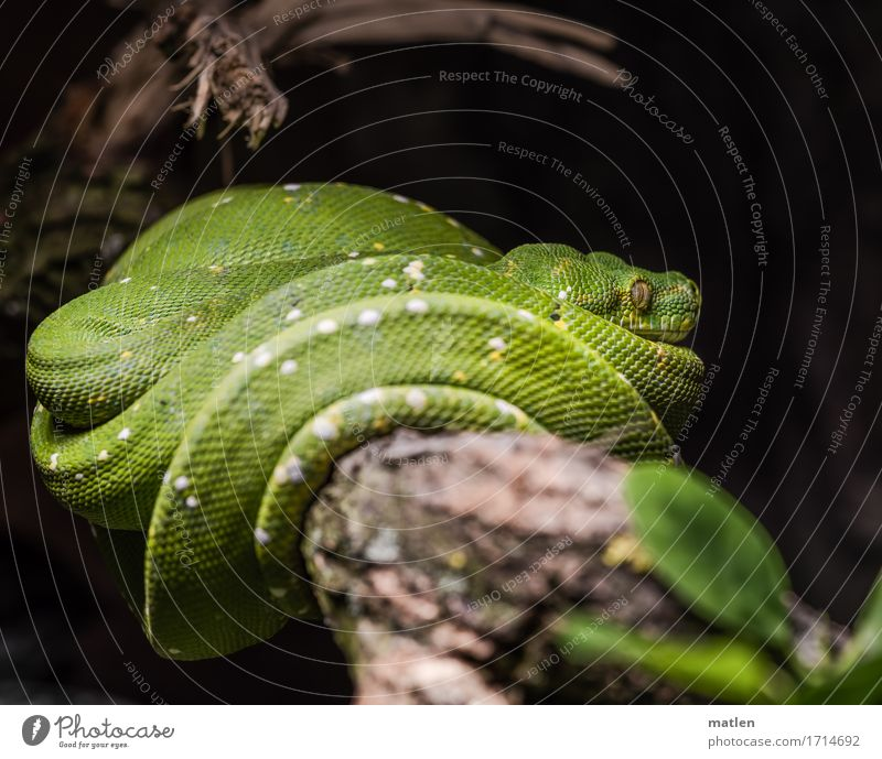 Kaa Tree Animal Snake 1 Lie Muscular Brown Green White Branch Colour photo Close-up Deserted Copy Space left Copy Space right Copy Space top Copy Space bottom