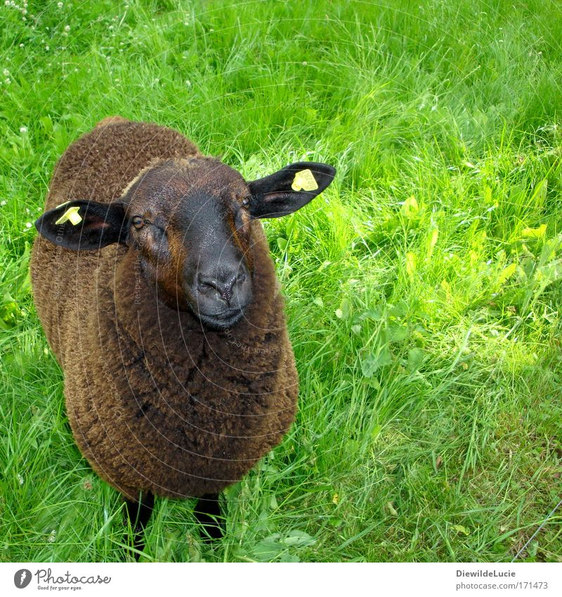 Green Meadow Happy Contentment Brown Soft Observe Trust Pelt Curiosity Cute Friendliness Sheep Expectation Harmonious Well-being