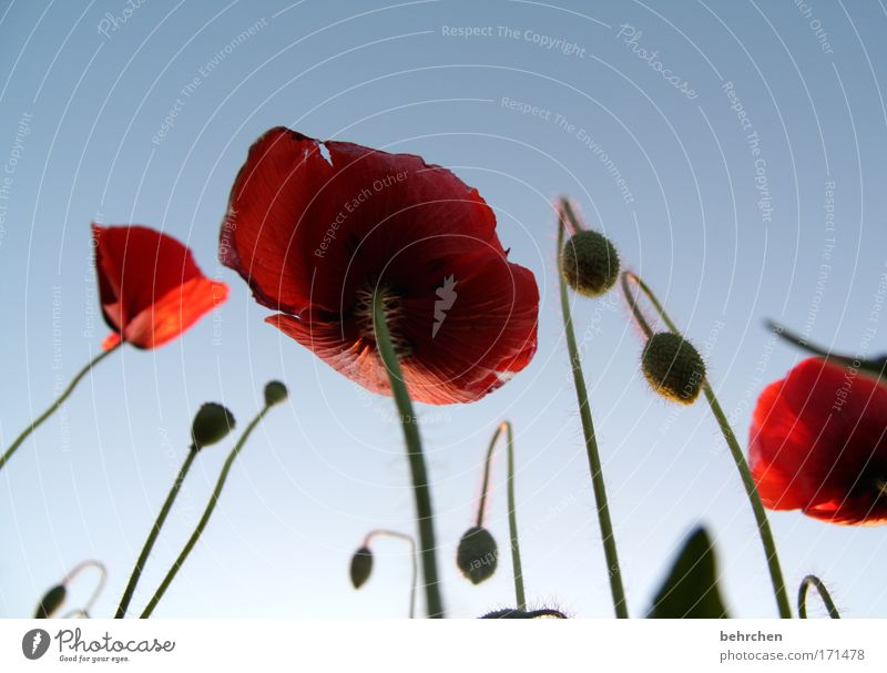 Nature Beautiful Plant Red Summer Blossom Field Environment Tall Growth Kitsch Stalk Agriculture Poppy Beautiful weather Worm's-eye view