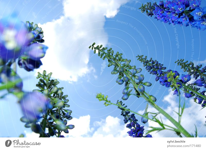 high up II Environment Nature Plant Sky Clouds Summer Beautiful weather Flower Blossom Blossoming Growth Fragrance Blue Green White Towering Height Stalk Go up