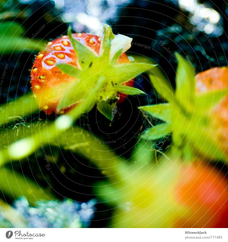 Green Plant Red Summer Animal Garden Healthy Fruit Berries Strawberry Fruity Agricultural crop Balcony plant Nest of fruits
