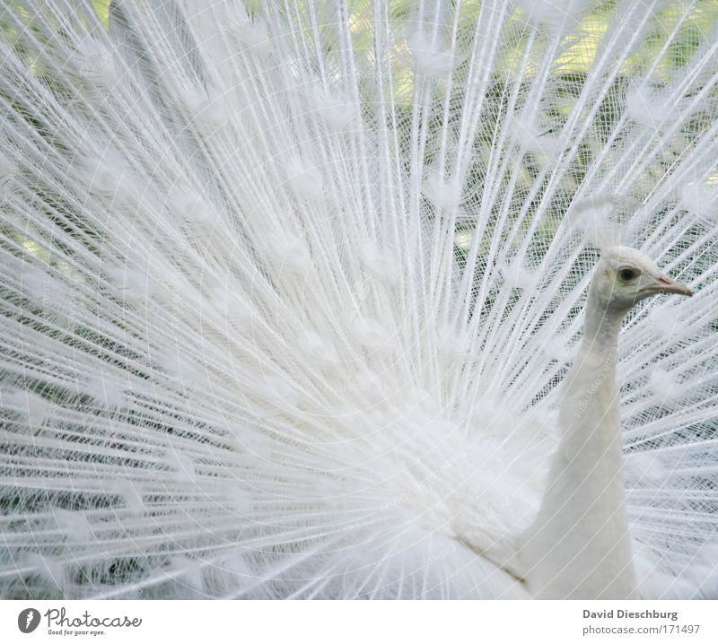 Nature White Beautiful Animal Eyes Bird Wild animal Feather Wing Uniqueness Animal face Zoo Snapshot Beak Peacock Rutting season