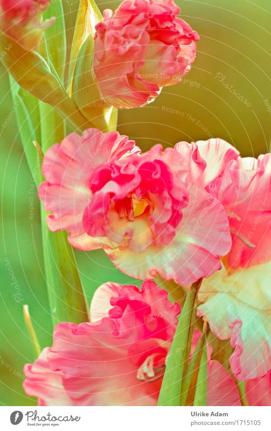 Gladiolas ( Gladiolus ) Elegant Design Garden Interior design Decoration Wallpaper Image Canvas Poster Card Nature Plant Sunlight Summer Flower Blossom