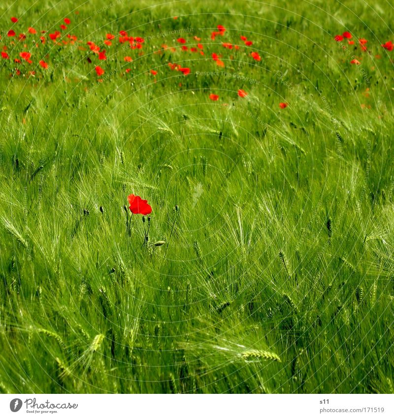 Nature Green Red Plant Summer Flower Meadow Blossom Grass Landscape Spring Small Power Field Grain Agriculture