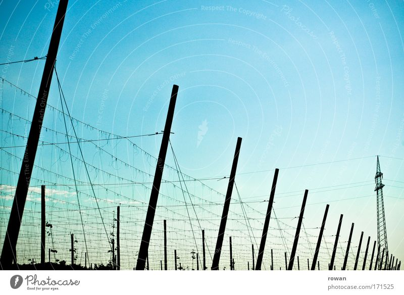 Sky Plant Growth Cable Technology Net String Agriculture Electricity pylon Bavaria Pole Sky blue Hop Brewery Hop flower Hop leaf