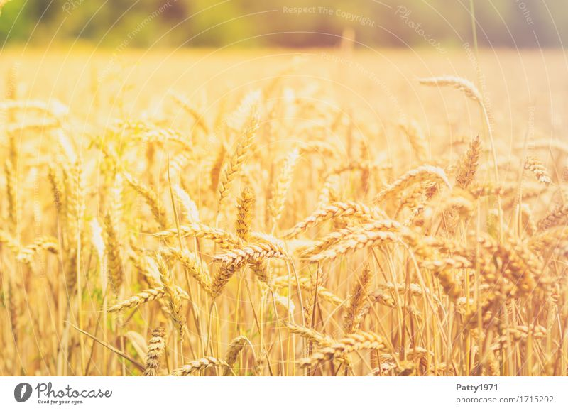 Plant Summer Yellow Natural Field Growth Gold Agriculture Grain Sustainability Forestry Wheat Agricultural crop Ear of corn Wheatfield