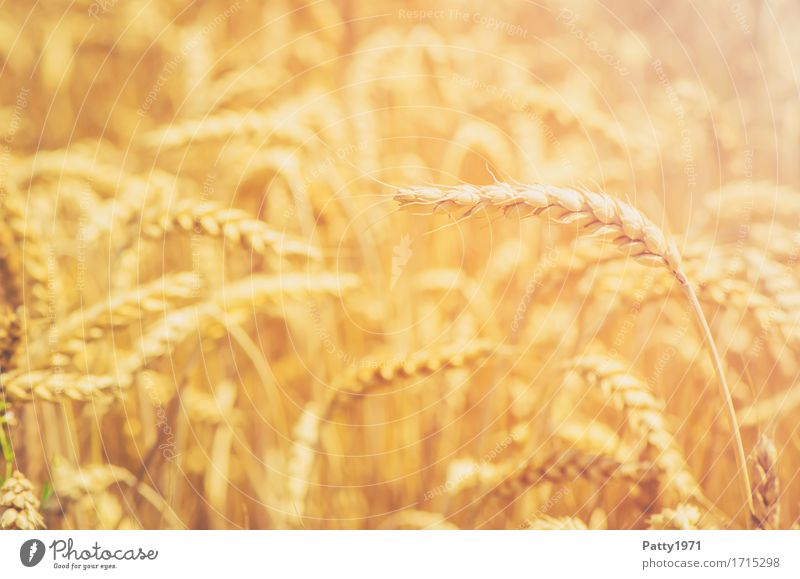 cereals Grain Agriculture Forestry Summer Plant Agricultural crop Wheat Wheatfield Ear of corn Field Sustainability Natural Yellow Gold Growth Colour photo
