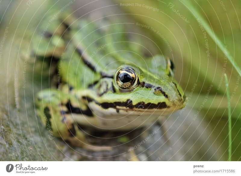 At the pond Environment Nature Animal Summer Beautiful weather Pond Wild animal Frog 1 Green Sit Stone Blade of grass Eyes Looking Colour photo Exterior shot