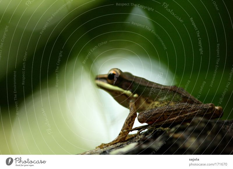 Nature Green Animal Environment Natural Wild animal Sit Wait Observe Asia Virgin forest Frog Borneo Frog's legs