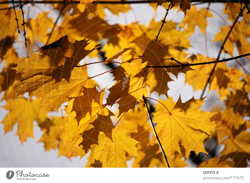 Autumnal color Nature Beautiful Sky Tree Plant Leaf Yellow Forest Garden Gray Elegant Gold Good Lightning Elements