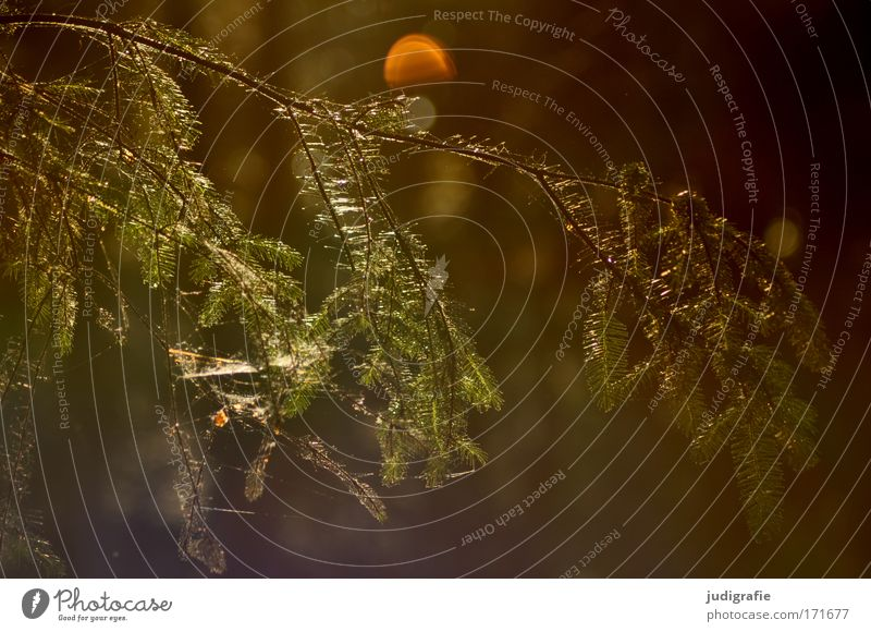 Nature Green Tree Plant Calm Environment Brown Illuminate Transience Spider's web Coniferous trees