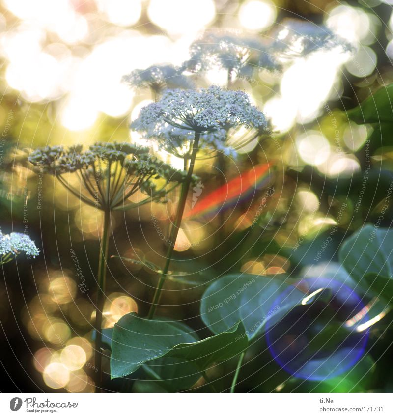 in the evening the light is at its best Healthy Environment Nature Landscape Animal Sunlight Summer Plant Wild plant Apiaceae Umbellifer angelica