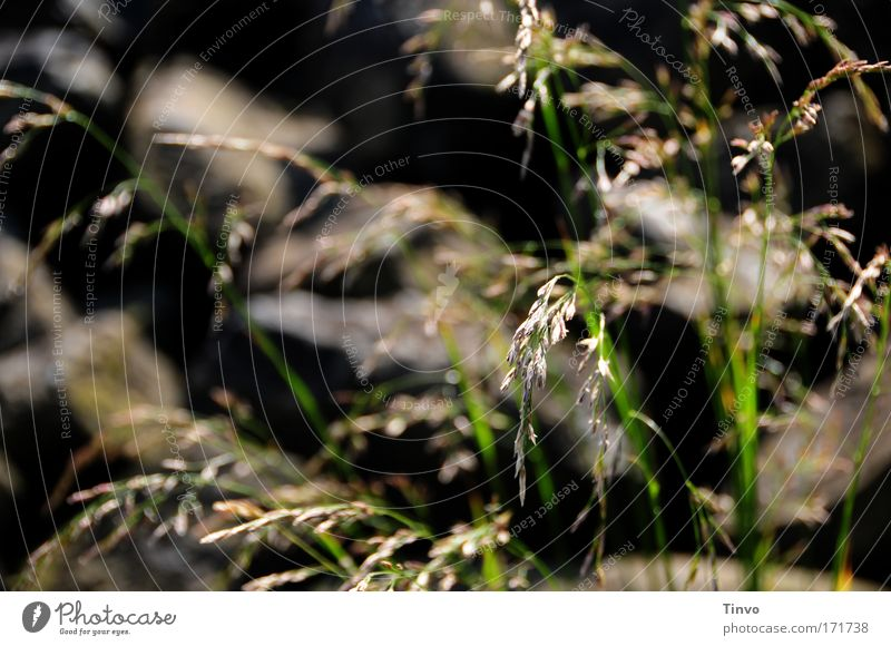 Grasses and stones Colour photo Subdued colour Exterior shot Close-up Deserted Day Shadow Shallow depth of field Nature Plant Summer Beautiful weather Rock