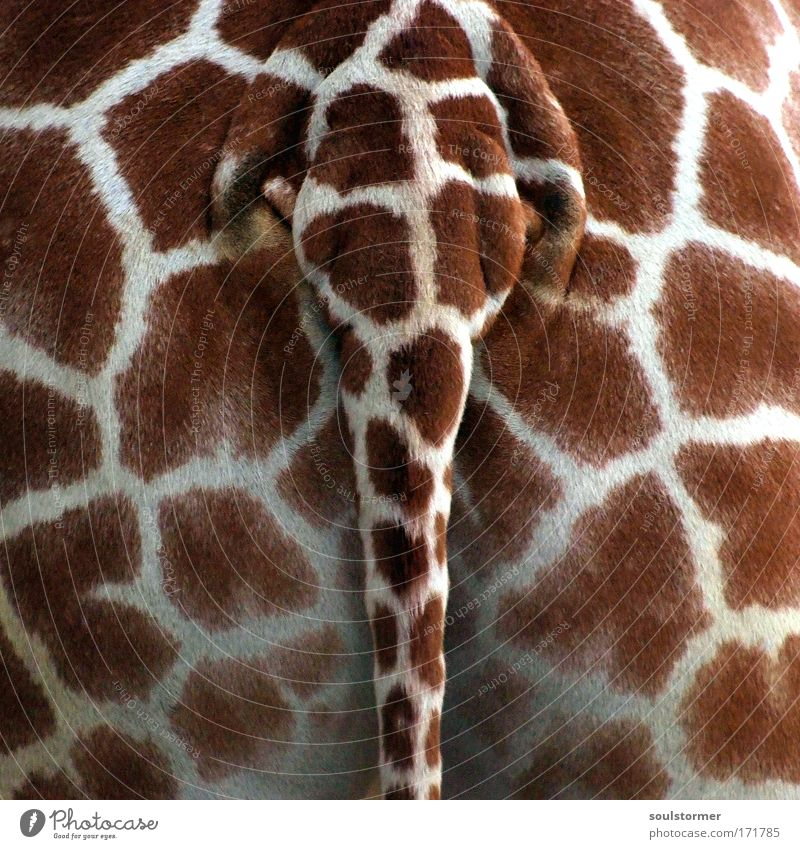 Wallpaper Pattern Animal 1 Bottom Hind quarters Zoo Feces Wild animal Human being Detail Lust Tails Giraffe Perspective